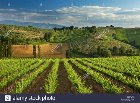 di spoleto a vineyard near montefalco in the val di spoleto umbria