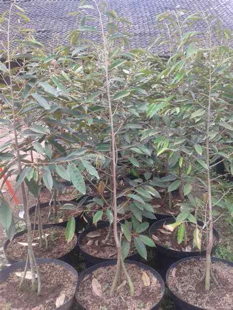 durian musang king bibit durian unggul