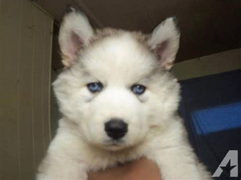 fluffy husky puppies fluffy husky puppies for sale in chattahoochee florida classified americanlisted