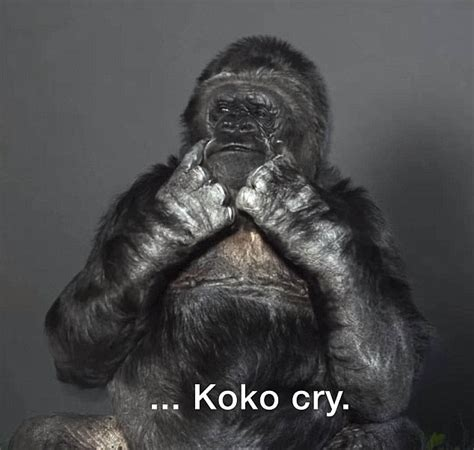 Koko Vio shows new year message from koko the talking gorilla daily mail
