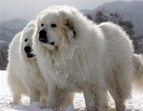 big white fluffy breed largest breed names wallpaper