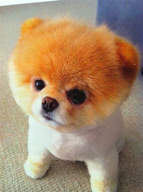 cutest puppies in the whole world 25 best ideas about boo on world cutest boo puppy and world s