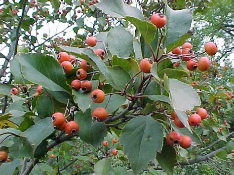 fruit trees ontario shrubs and trees