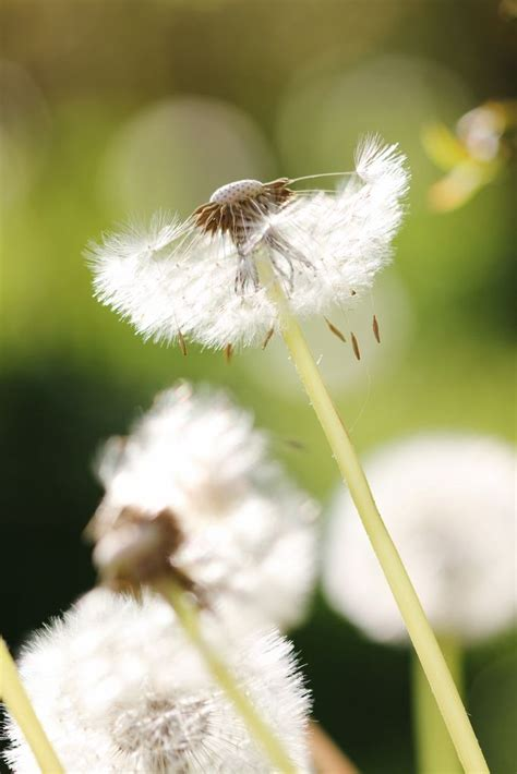 Dandelion Wishes 149 best images about dandelions on dandelion