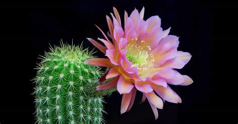 cactus fiori i fiori di cactus mentre sbocciano una magia da gustare