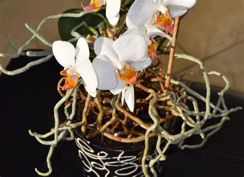 orchid air roots  trimmed smart garden guide