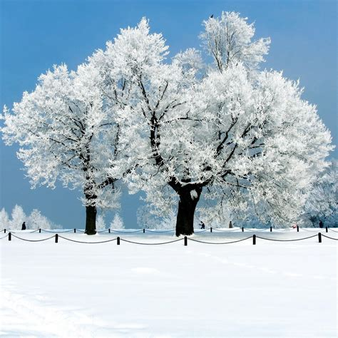 whit tree beautiful snow wallpaper wallpapersafari