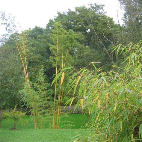 Taille Bambou Fargesia by Lot De Bambous Farg 233 Sia Pour Haie D 233 Corative
