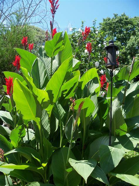 attract hummingbirds   yard  planting canna