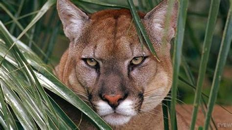 florida panther killed  road sets record  panther