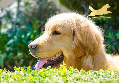 criadero golden retriever criadero perros golden retriever en mexico golden retriever mexico