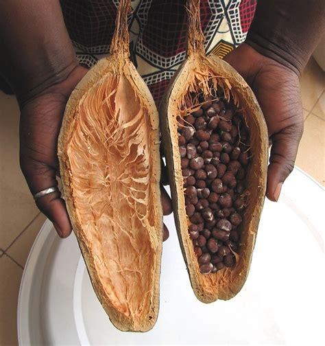baobab fruit baobab seed is file baobab seeds from one fruit adansonia digitata jpg