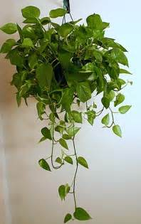 indoor vine plants indoor plant options for apartments cozy bliss