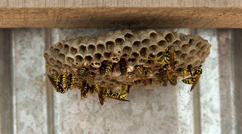 Beseitigung Wespennestern wespen beseitigen wo lauert die gefahr