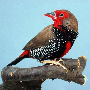 painted firetail avitoon keeping and breeding