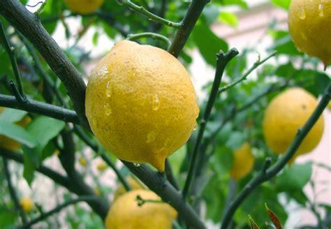 giorgio bassani il giardino dei finzi contini riassunto limoni poesia