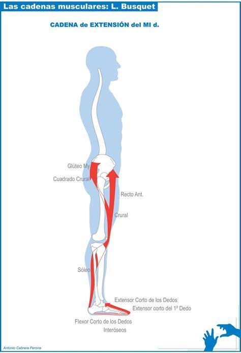 cadenas musculares miembro superior pdf las cadenas musculares l busquet pdf