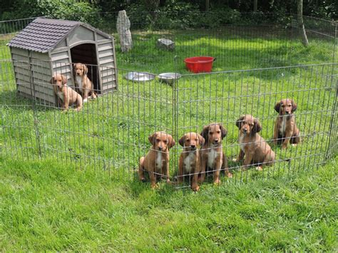 setter cross dog for sale welsh collie cross irish setter poodle puppies