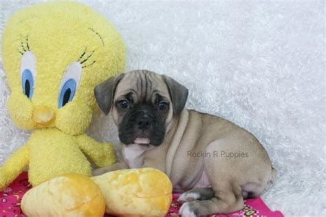 r puppies marla frenchie puggle rockin r puppies