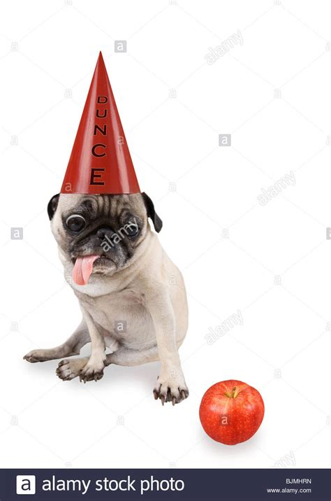 pug with hat a pug with a dunce hat on stock photo royalty free image 28727209 alamy