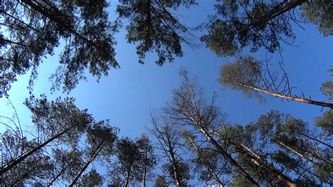 pine trees swaying in the wind sky and light stock
