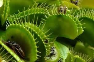 carnivorous plants venus flytraps florafauna com