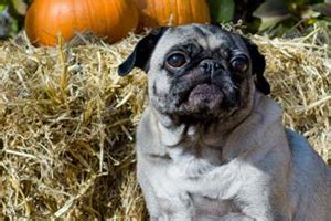 collapsed trachea in pugs adopted boston terrier pug rescue of southern manitoba
