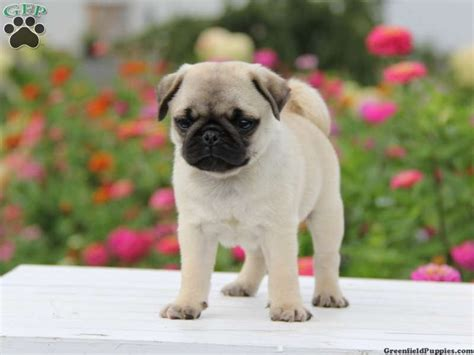 mini pug oscar miniature pug puppy for sale from morgantown pa