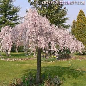 types of weeping trees live weeping japanese cherry tree