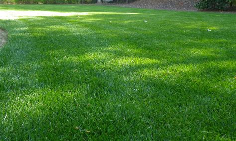buy zoysia grass or sod super zoysia grass sod empire tifton ga buy empire zoysia grass seed