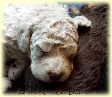 mini labradoodles edmonton tawney s 2015 mini labradoodle puppies copper