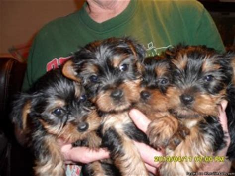 teacup yorkie nashville tn dogs nashville tn free classified ads