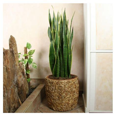 Tolle Zimmerpflanzen by Pflegeleichte Zimmerpflanzen 18 Vorschl 228 Ge Archzine Net