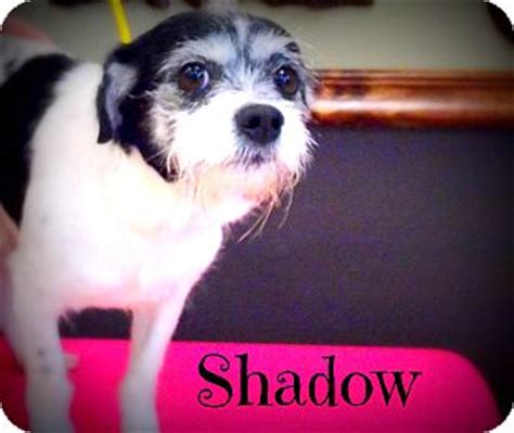 rat terrier and shih tzu mix shadow adopted 39008 defiance oh rat terrier shih tzu mix