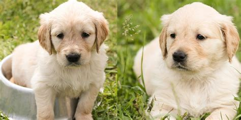 are golden retrievers expensive 25 most adorable puppy breeds funtality