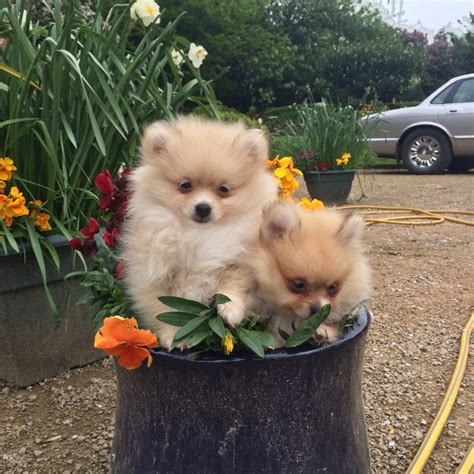 small pomeranian for sale beautiful tiny micro pomeranian puppies for sale pomeranian miniature for sale