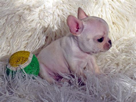 small miniature bulldog puppies for sale miniature bulldogs for adoption breeds picture