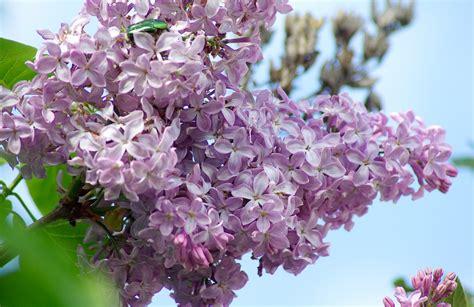 lilla fiore foto gratis fiori lilla viola immagine gratis su