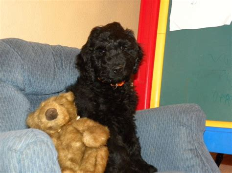 goldendoodle puppy phases the 7 puppy stages aussiedoodle and labradoodle puppies