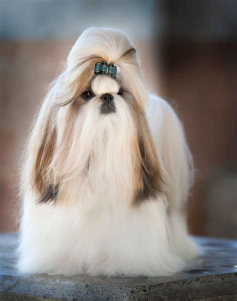 how long does it take for a shih tzu to grow back her hair shih tzu dogs 10 handpicked ideas to discover in animals