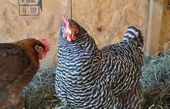 where to buy backyard chickens where to buy hatching eggs and chickens