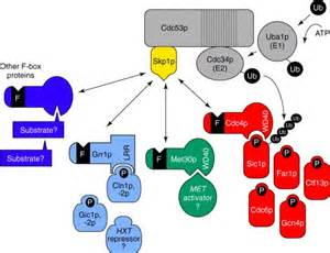 protein f box combinatorial in ubiquitin dependent proteolysis