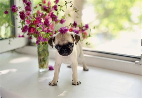 how much is a pug puppy worth twelve pug puppies that should be illegal
