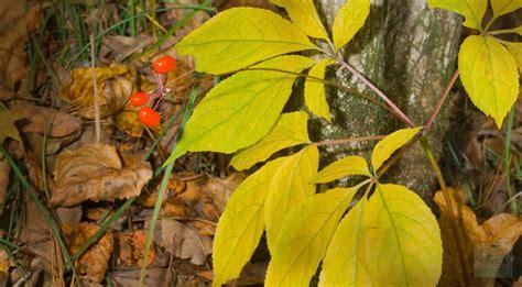 Shoo Ginseng ginseng root bulk ginseng and ginseng as an immune stimulant