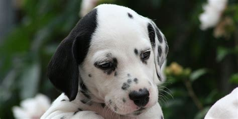 puppy dalmatian dalmatian information characteristics facts names