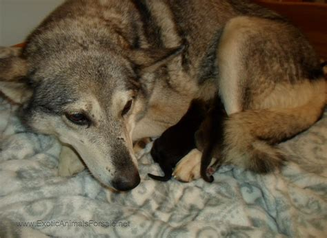 blooded wolf puppies for sale in wolves for sale