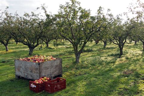 apple orchard the birds and the bees of pollinating an orchard earth