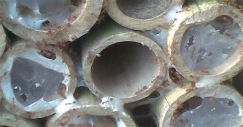 Ternak Semut Rang Rang by Read Land Crb Ternak Semut Rang Rang Kroto Dengan
