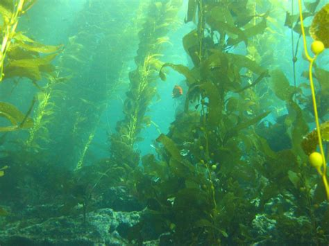 kelp beds picky eaters how the feeding preference of lobsters may