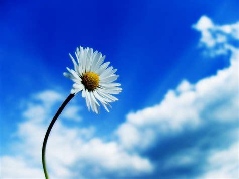 foto margherita fiore sfondi natura e paesaggi gratis